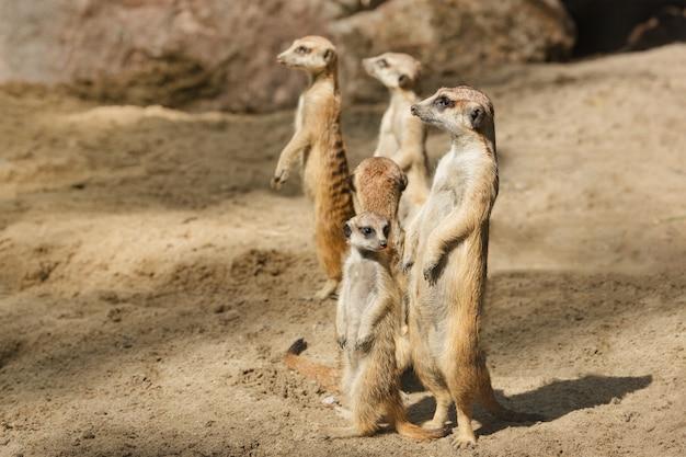 Family of cute mammals meerkats, suricata.