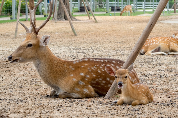 농장에서 가족 사슴.