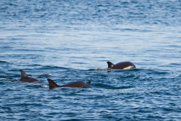 A family of dolphins swim in the black sea