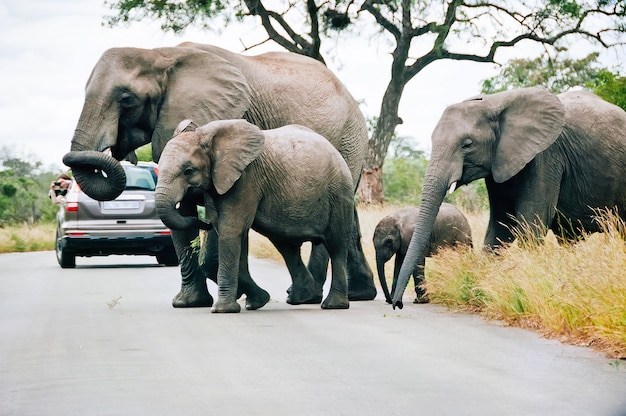 A family of elephants crossing the road in kruger national park in mpumalanga, south africa, walking between the automobiles with tourists.