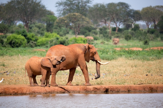 Family of elephants drinking water from the waterhole