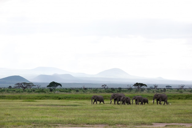 A family of elephants is walking in the national park