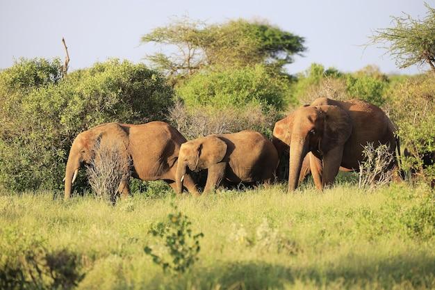 Famiglia di elefanti nel parco nazionale orientale di tsavo, kenya, africa