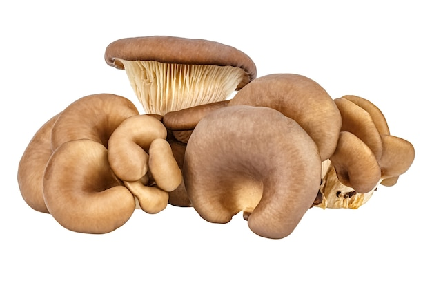 Family of fresh oyster mushrooms isolated on a white background. pleurotus ostreatus mushroom