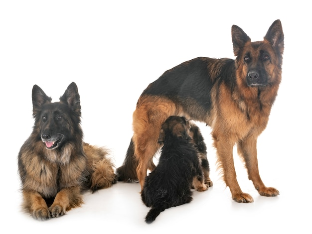 Family german shepherd
