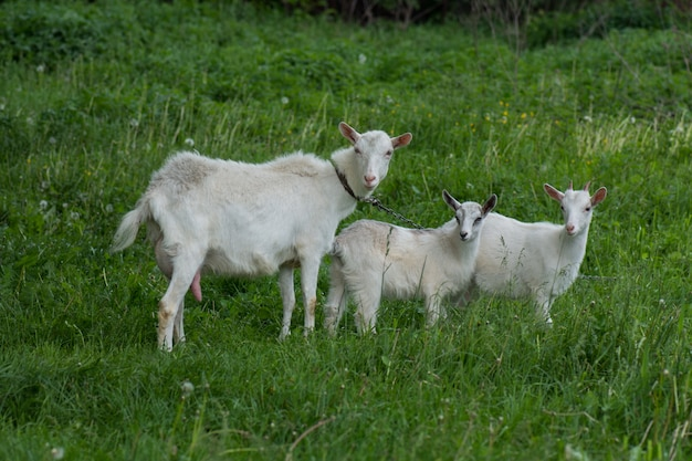 Family  goats  against green grass. pasture of a livestock.