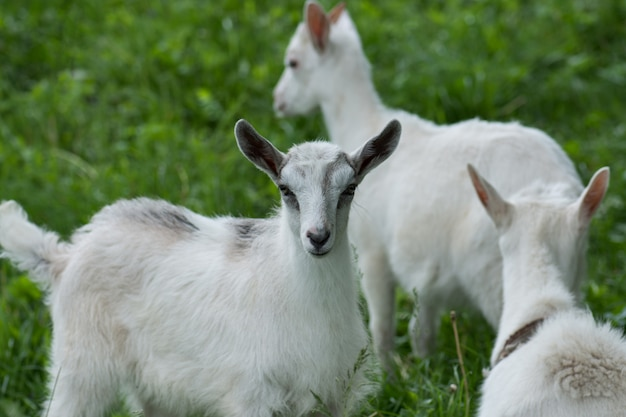 Family goats is grazed on a green meadow. agriculture industry and farming