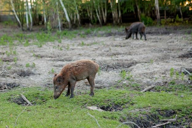 Семейная группа свиней бородавок, пасущихся вместе едят траву.