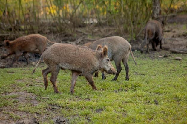 一緒に草の餌を食べるイボイノシシの家族グループ。