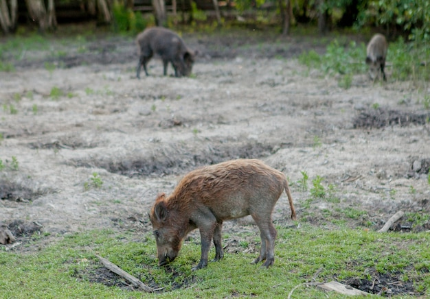 Family group of wart hogs grazing eating grass food together.