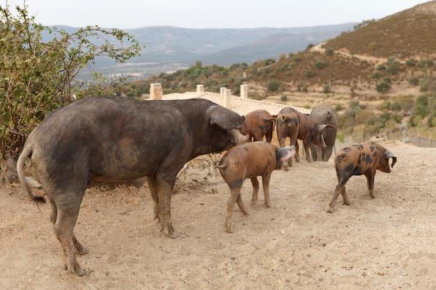 Family of iberian pigs