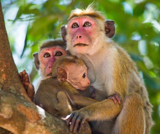 Family of monkeys sitting in a tree