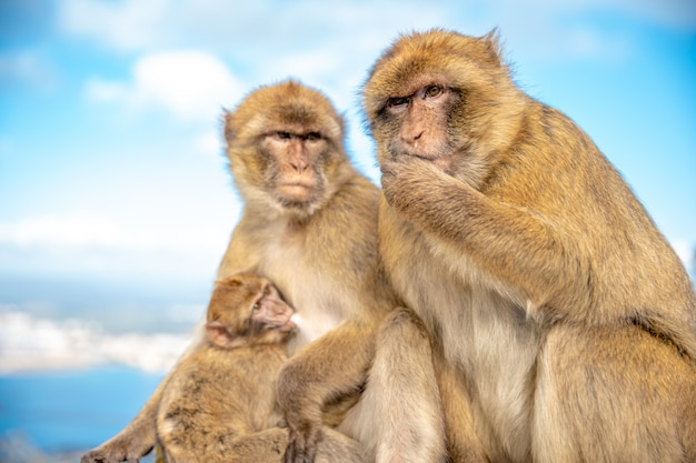 Family of monkeys with blue sky in the background. macaca sylvanus