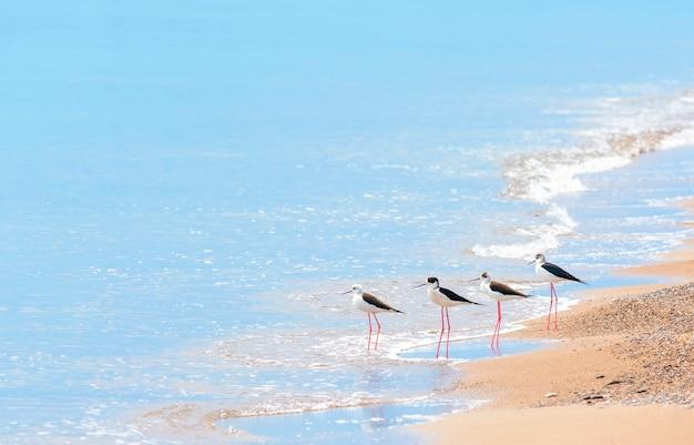 Семья птиц на ходулях на берегу песчаного моря.
