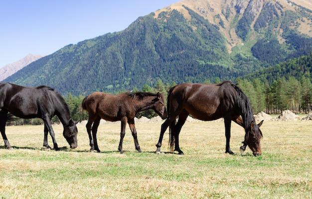Семья темных лошадей с жеребенком, пасущихся на пастбище