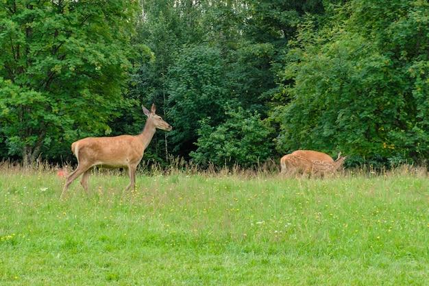 Семья оленей, пасущихся на лугу с зеленой травой. олень ест в лесу. концепция дикой природы
