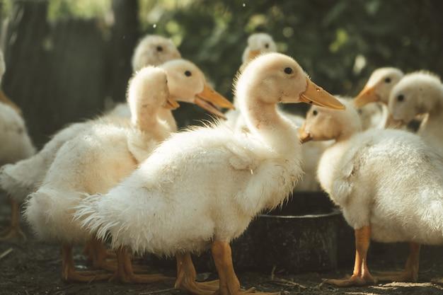오리와 오리 새끼 오리의 가족은 농장에서 물에서 씻는 어린 오리가 물을 마신다