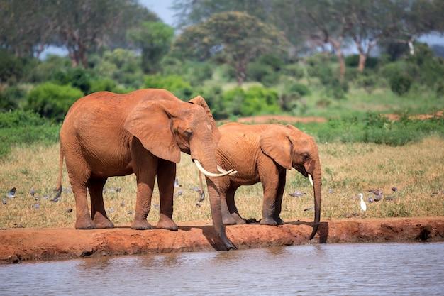 滝壺から水を飲む象の家族