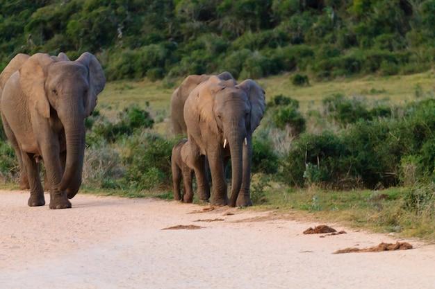 Семья слонов из национального парка аддо элефант, южная африка. африканская дикая природа