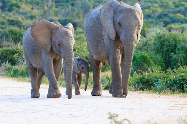 南アフリカのアッドエレファント国立公園の象の家族。アフリカの野生生物