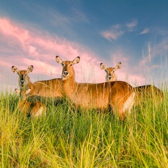 4つのウォーターバックの家族は雲のある素晴らしいピンクの空の背の高い草の茂みに立っていますマーチソンフォールズ国立公園ウガンダアフリカ