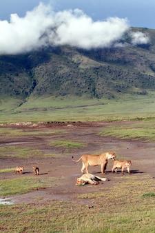 ンゴロンゴロ火山の火口にいるライオンの家族。