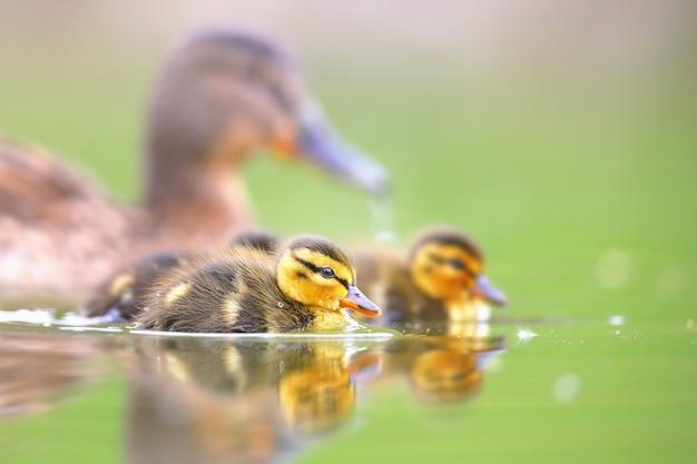 春に水の上を泳ぐ小さなアヒルの子とマガモの家族