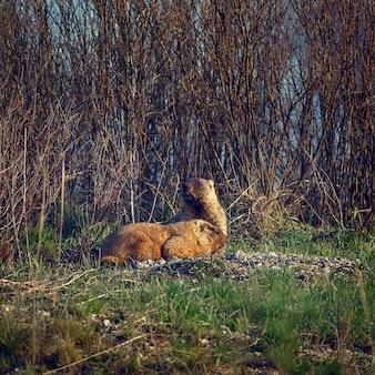 春の牧草地のマーモットの家族。トーン