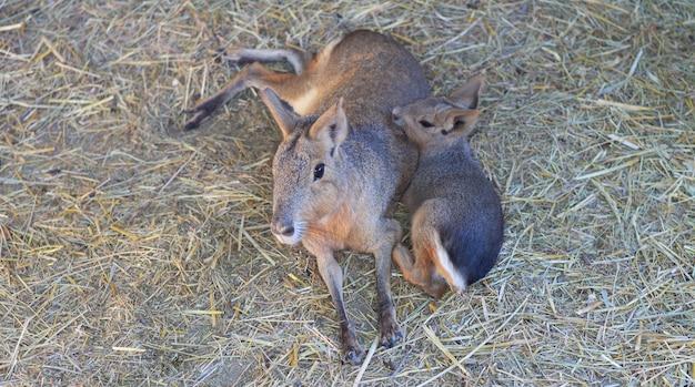 パタゴニアのマラノウサギの家族、母と子は休憩