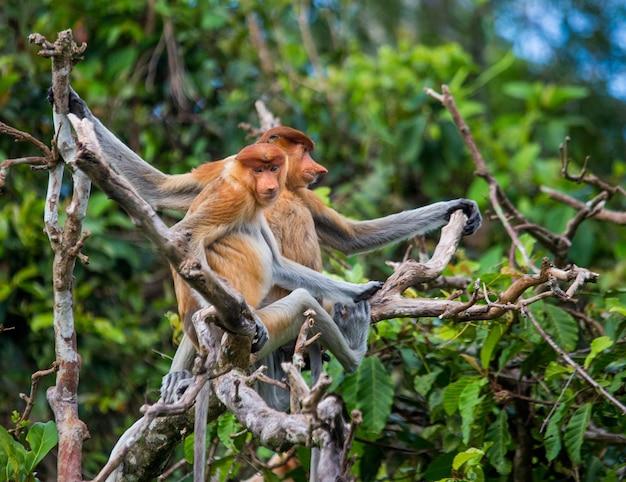 テングザルの家族がジャングルの木に座っています。インドネシア。ボルネオ島、カリマンタン。