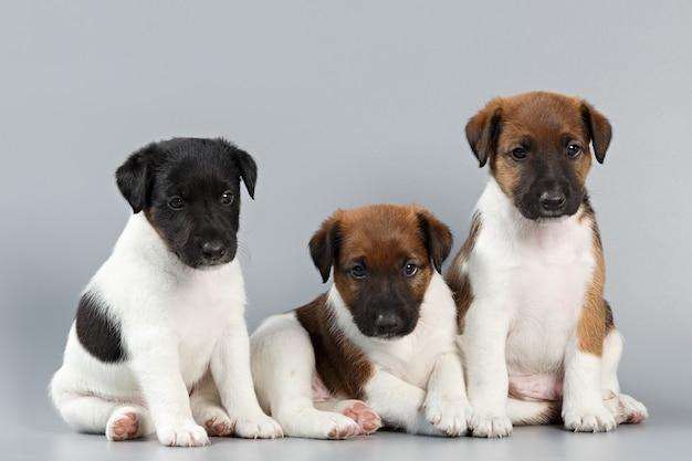 純血種の子犬の家族は、灰色の表面に大きく撮影されたフォックステリアのスムースコートです。猟犬。
