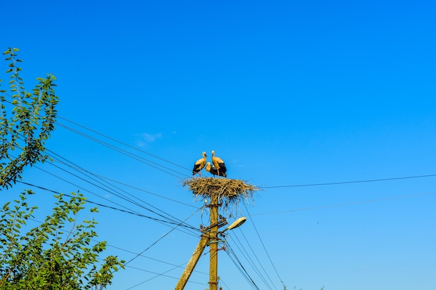 電柱の巣にいるコウノトリ(ciconia ciconia)の家族