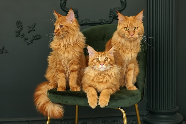 3匹の赤いふわふわメインクーン猫の家族は緑のビロードの椅子に座っています