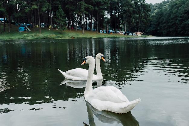 白い白鳥のシグニーニと野生動物の湖に浮かぶ灰色の若い白鳥の家族