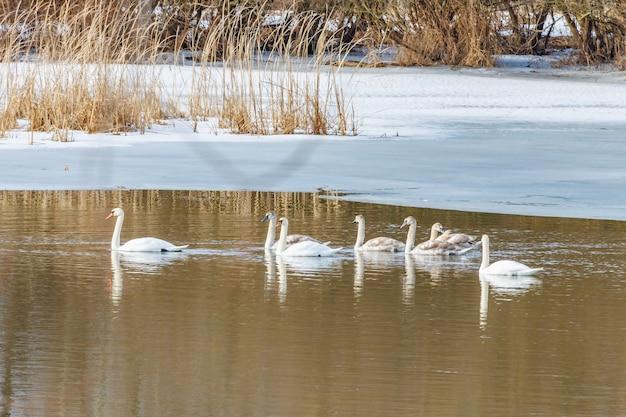 화창한 겨울 날 눈 덮인 강변을 배경으로 수면에서 수영하는 하얀 백조의 가족