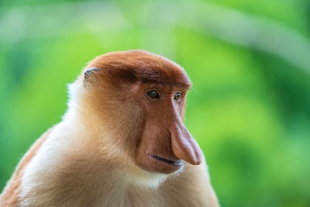 Семья диких обезьян хоботок или nasalis larvatus, в тропических лесах острова борнео, малайзия, крупным планом. удивительная обезьяна с большим носом.