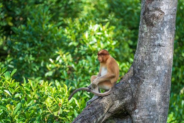 マレーシアのボルネオ島の熱帯雨林に生息する野生のテングザルまたはナサリス幼虫の家族がクローズアップ。大きな鼻を持つ素晴らしい猿。