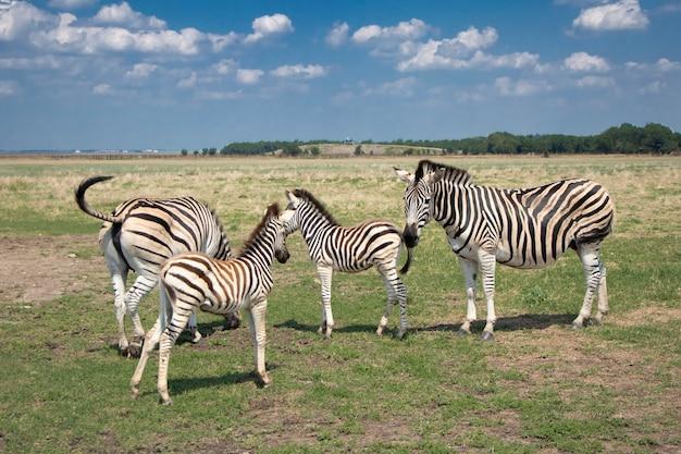 シマウマの家族は草原で草を食む4つのシマウマ大人と少年の群れ妊娠中のシマウマ