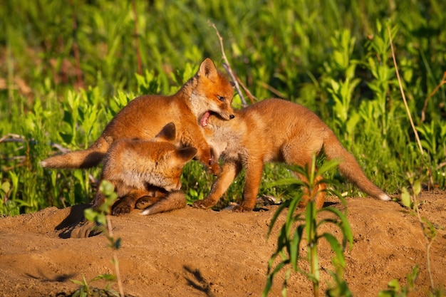 Family red fox playing on den in springtime nature
