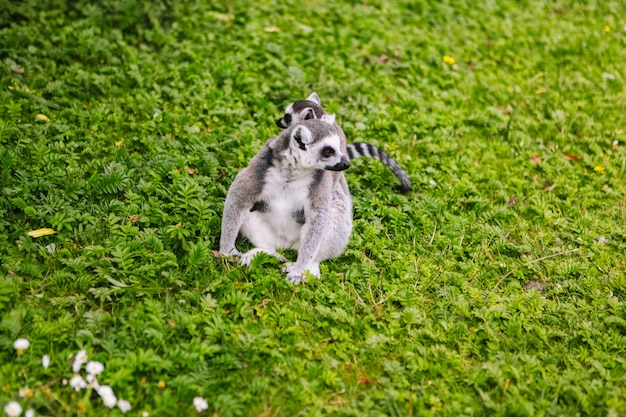 Family of ring-tailed lemur sit on the trgrass . lemur catta looking at camera. beautiful grey and white lemurs. african animals in the zoo