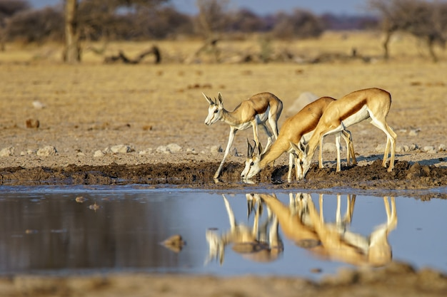 Family of springboks drinking water from a dirty lake