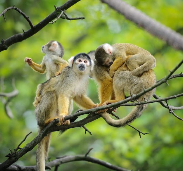 Family of squirrel monkeys with their babies on a tree branch