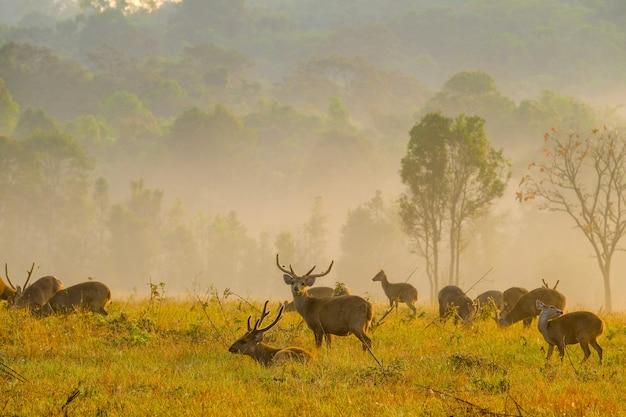 Family sunset deer at thung kramang chaiyaphum province, thailand