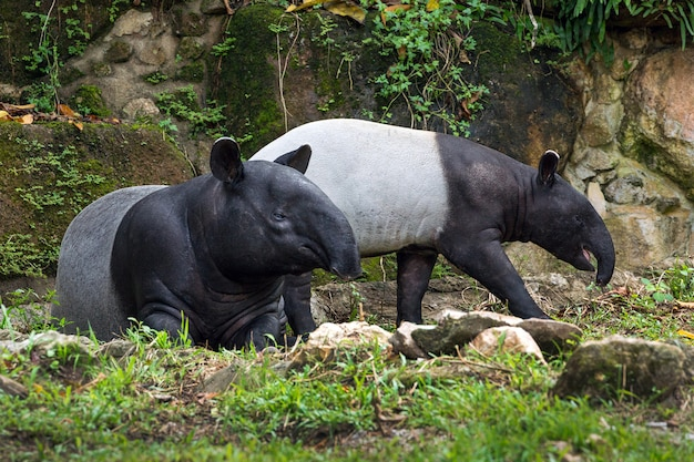 The family of tapir in the atmosphere of the forest