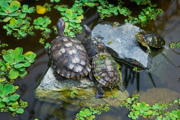 Family of turtles in pond. nature, family, animal, relationship theme.