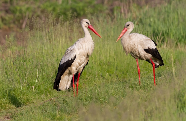 A family of white storks stands in the grass