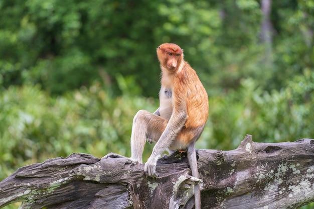 Family of wild proboscis monkey or nasalis larvatus or dutch monkey, in the rainforest of island borneo, malaysia, close up. amazing monkey with a massive pendulous nose