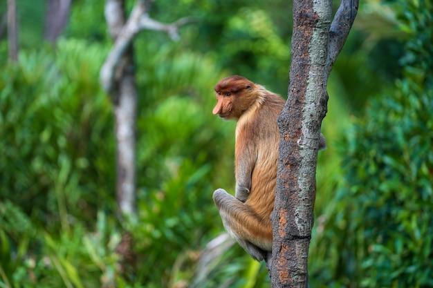 Family of wild proboscis monkey or nasalis larvatus, in the rainforest of island borneo, malaysia, close up. amazing monkey with a big nose.