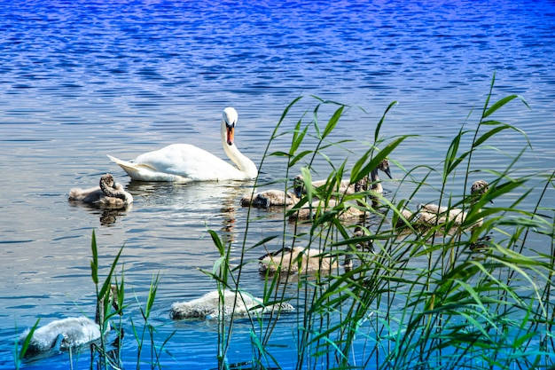Family of wild swans on the lake. strong proud bird. natural wildlife.