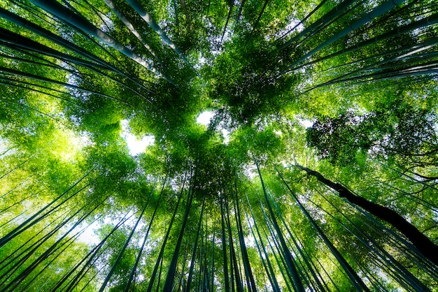 Famous bamboo forest sagano in kyoto in japan